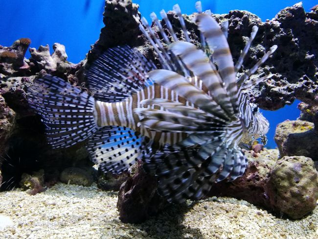 Lionfish Stjohnusvi Wildlife & Nature Animal Portrait Animals Nature Animals In The Wild Beautiful Animal Animal In Nature Usvirginislands Usvi Fishes Animal Themes