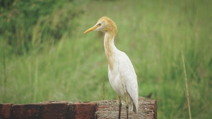 EyeEm Selects Bird Beak Rural Scene Close-up Grass Ibis Stork Egret White Stork Crane - Bird Closing Great Egret Heron