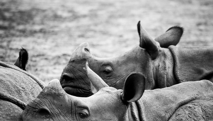 Rhinoceros Animal Themes Animals In The Wild Black And White Blackandwhite Close-up Day Korn Mammal Monochrome Nature No People Outdoors Rhinoceros Zoology