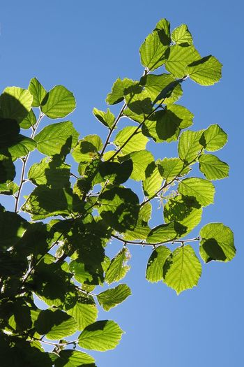 Blue Branch Clear Sky Day Freshness Green Color Growth Leaf Low Angle View Nature No People Outdoors Plant Plant Part Sky Sunlight Tree