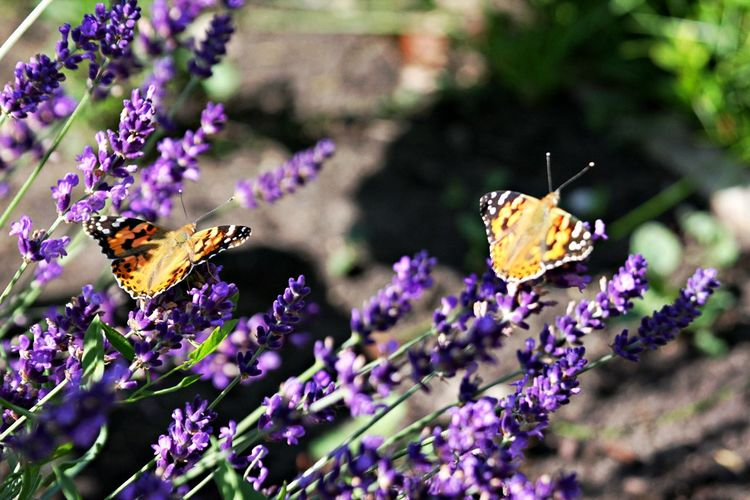 Flower Flowering Plant Plant Beauty In Nature Animal Insect Animal Themes Freshness Purple Vulnerability  Animal Wildlife Butterfly - Insect Animals In The Wild Petal Animal Wing Pollination Outdoors Butterfly Lavender No People