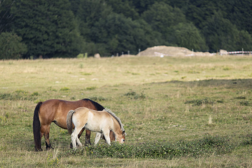 Horses grazing in summer in Navarra, Spain. Grass Horses Mare Navarre SPAIN Animal Animal Themes Animals In The Wild Day Field Full Length Grass Landscape Mammal Meadow Nature Navarra No People Outdoors Tree