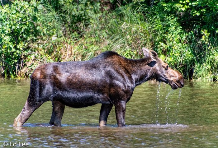 Moose at Isle Royale! Isle Royale National Park Wildlife & Nature Streamzoofamily Nature_collection Malephotographerofthemonth Beauty In Nature Animal Animal Themes Water Animal Wildlife Mammal Animals In The Wild Plant Nature One Animal Lake Side View Herbivorous Waterfront