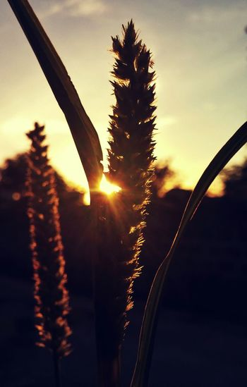 Close-up of plants at sunset