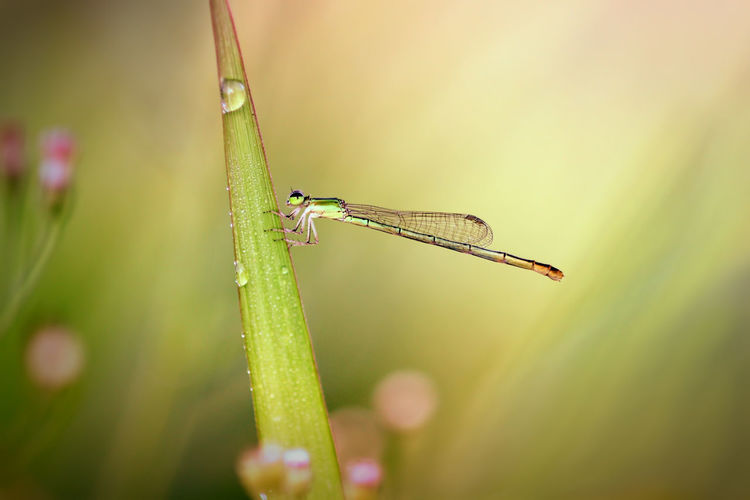 dragonfly on the twig Insect Invertebrate Animals In The Wild Animal Wildlife One Animal Animal Themes Plant Close-up Animal Green Color Nature No People Selective Focus Growth Beauty In Nature Day Focus On Foreground Grasshopper Grass Damselfly Outdoors Animal Wing Blade Of Grass