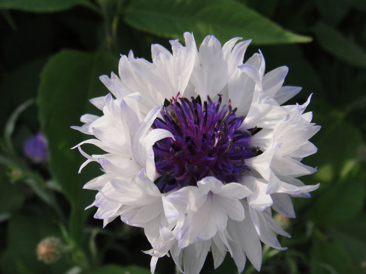 white cornflower / weisse kornblume Cornflowers Flowers,Plants & Garden Beauty In Nature Blooming Close-up Cornflower Cornflower Silhouettes Cornflower White Day Flower Flower Collection Flower Head Flower Photography Flower White Flowers Flowers, Nature And Beauty Fragility Freshness Growth Nature No People Outdoors Petal Plant Purple