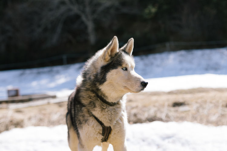 Husky sled dog in a nordic camp in pyrenees, france.
