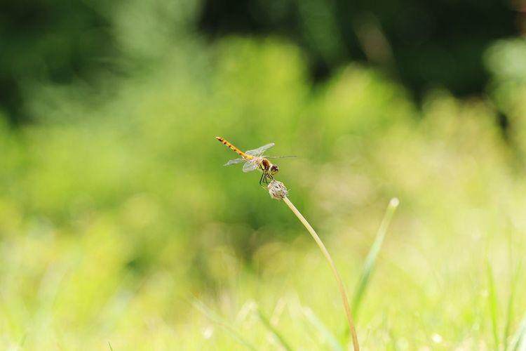 Green Copy Space Backgrounds Japan Dragonfly Animal Animal Themes Animals In The Wild One Animal Insect Invertebrate Animal Wildlife Plant Beauty In Nature Day Focus On Foreground Close-up Growth Nature No People Green Color Outdoors Selective Focus Animal Wing Flower