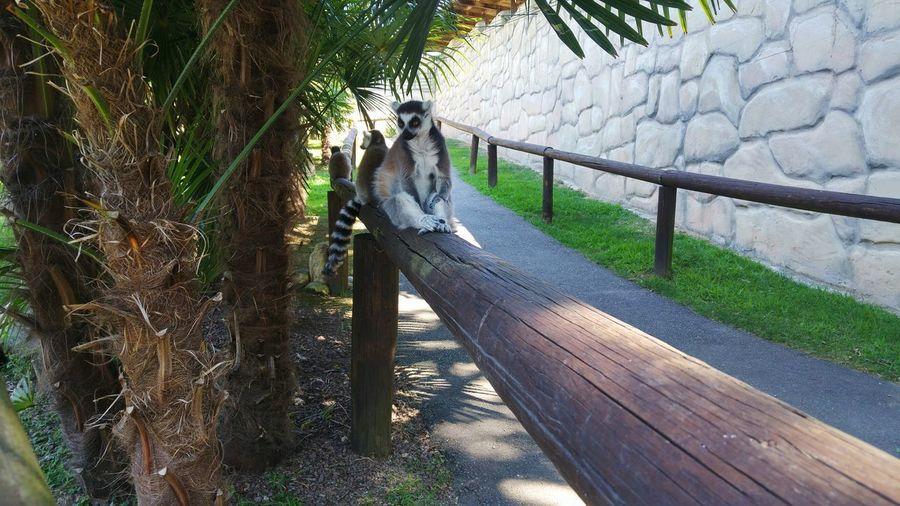 Lemure Lemures Lemure Zoology Zoosafaripark