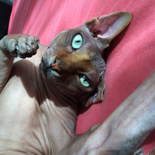 Close-Up Of Sphynx Hairless Cat Resting On Sofa
