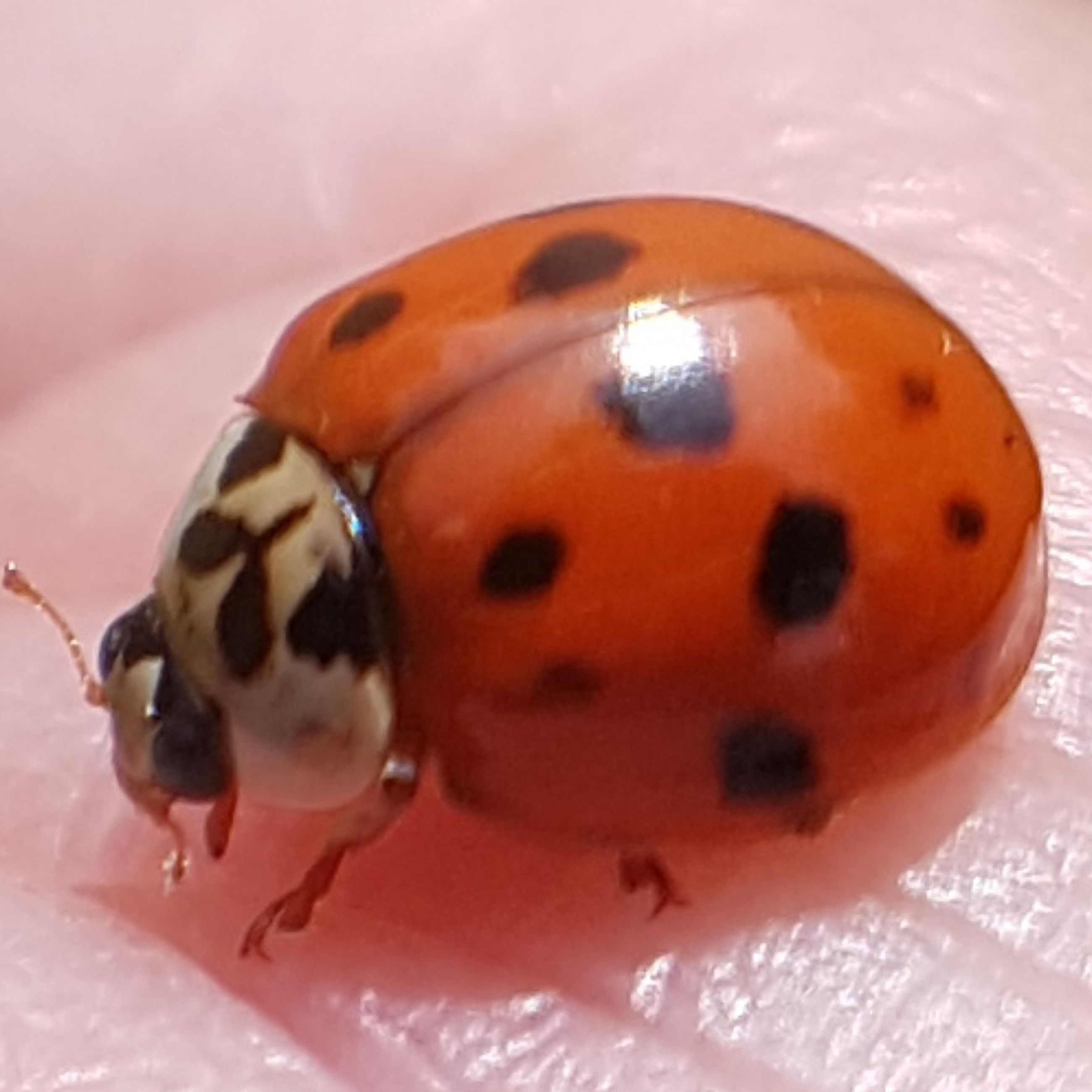 close-up, one animal, insect, no people, animal themes, animals in the wild, indoors, ladybug, day