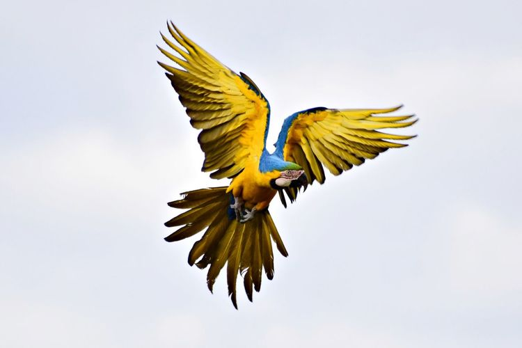Low Angle View Of Gold And Blue Macaw Flying Against Clear Sky