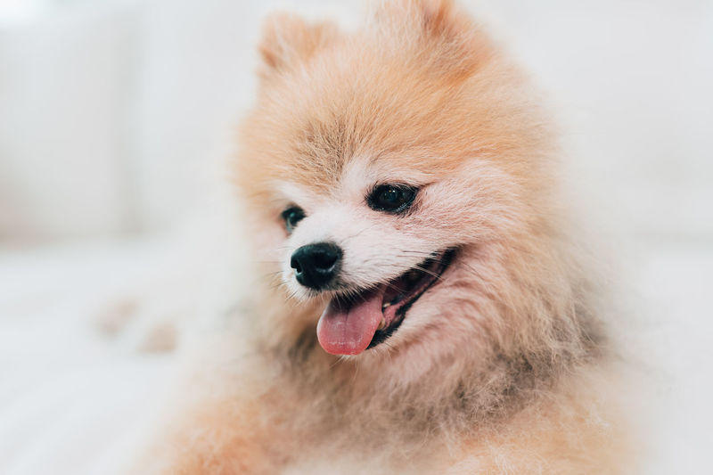 Pomeranian dog portrait One Animal Mammal Pets Domestic Domestic Animals Pomeranian Dog Canine Purebred Breed Portrait Pom Animal Themes Animal Facial Expression No People Close-up Mouth Open Mouth Sticking Out Tongue Animal Tongue