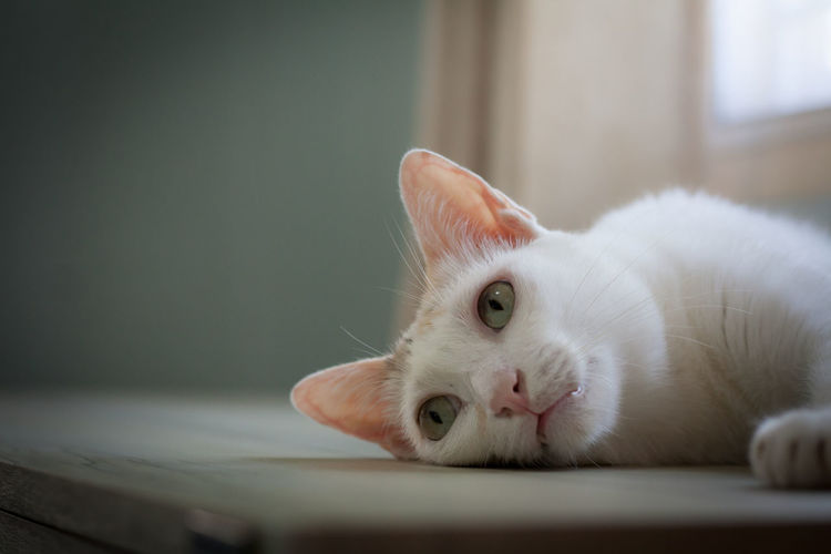 A lonely cat laying awaits you come back to play with. Animal Animal Themes Cat Close-up Domestic Domestic Animals Domestic Cat Feline Focus On Foreground Indoors  Mammal No People One Animal Pets Selective Focus Whisker White Color