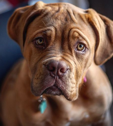 Dog Pets One Animal Domestic Animals Mammal Animal Themes Looking At Camera Portrait Close-up No People Day Indoors
