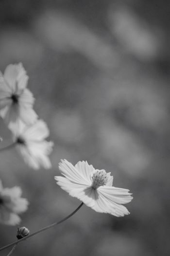 あなたと巡り合う為にこの星に生まれた。全ての出会いは運命の下。 Nature Monochrome Flowers コスモス キバナコスモス Cosmos Destiny Monochrome Photography