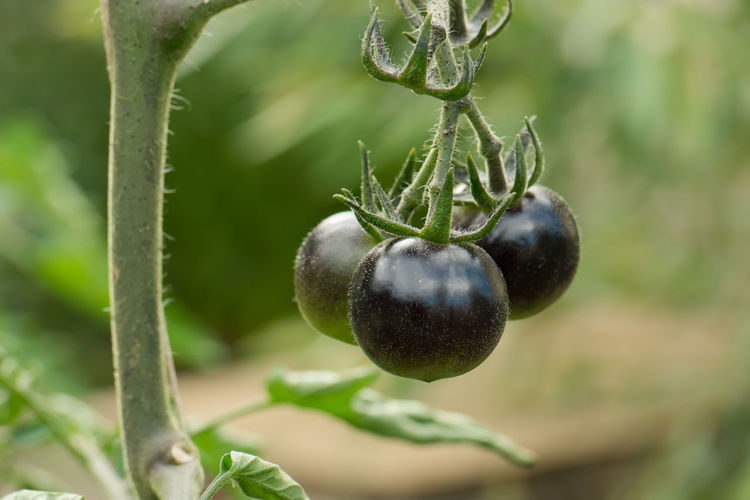 Gardening Macro Photography Agriculture Black Bunch Close-up Food Food And Drink Freshness Gourmet Food Green Color Growth Harvest Healthy Eating Hybrids Kumato Tomato Nature Organic Plant Plant Stem Ripe Sort Tomato Plant Tomatoes Vegetables