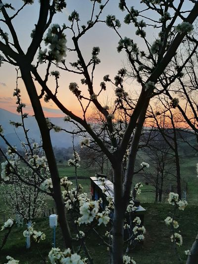 Scenic view of flowering tree against sky during sunset