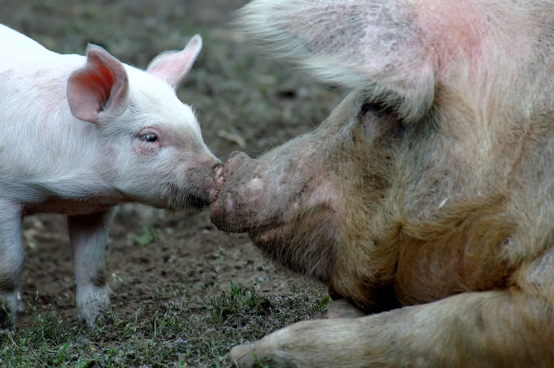 This little piggy was kissing mommy. Pig Ears Animal Themes Animals In The Wild Baby Pig Bacon Close-up Day Domestic Animals Kisses Mammal Nature No People Nose To Nose Outdoors Pig Piggy Piglet Sow Young Animal