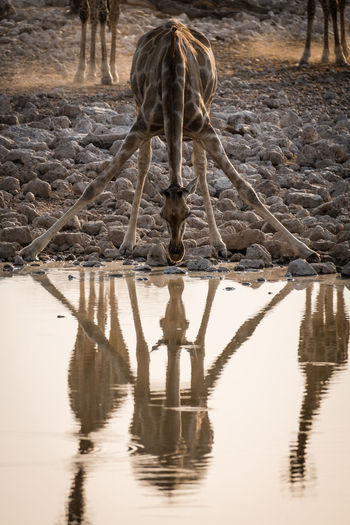 Reflection of horse standing in lake