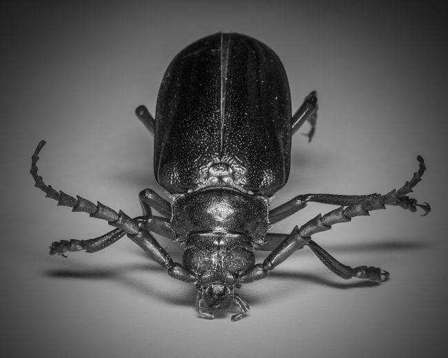 Cali Bug Beetle Black Color Bug Bugs California Borer Beetle Close-up Creepy Focus On Foreground Insect Insect Photography Invertebrate Macro Macro Photography Macro_collection Nature Nikon No People Vignette