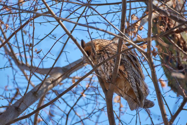 Asio otus - long-eared owl