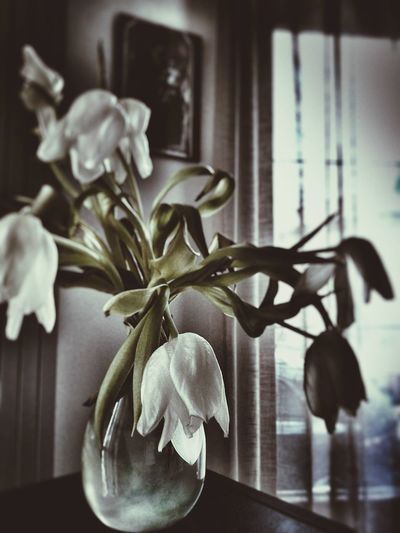 Interior Views Bouquet Vase Tulips Fading Flowers White Tulips Window Curtains Showcase March Showing Imperfection
