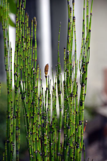 Close-up of bamboo plants