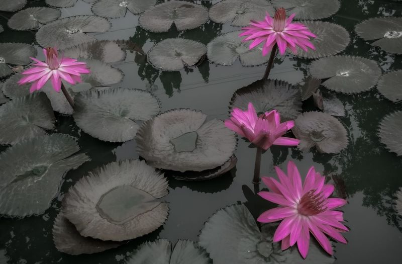 Pink lotus water lily in pond