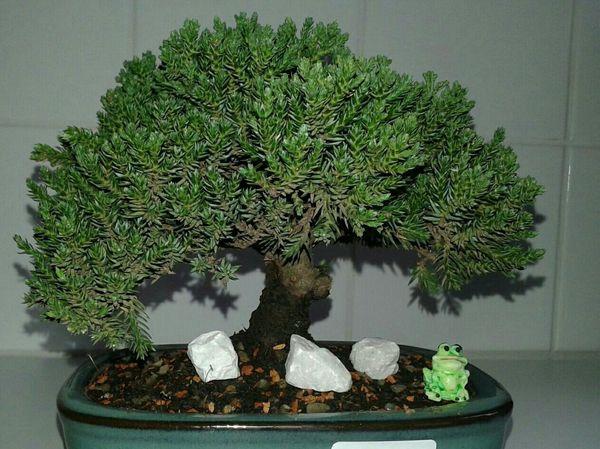 Bonsai Bonsai Tree Tree Minitree Japan Nipon