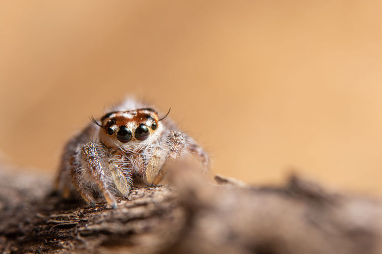 Macro spider on a branch of a leaf Animal Animal Body Part Animal Eye Animal Themes Animal Wildlife Animals In The Wild Arachnid Arthropod Close-up Day Insect Invertebrate Jumping Spider Macro Nature No People One Animal Portrait Selective Focus Spider Zoology