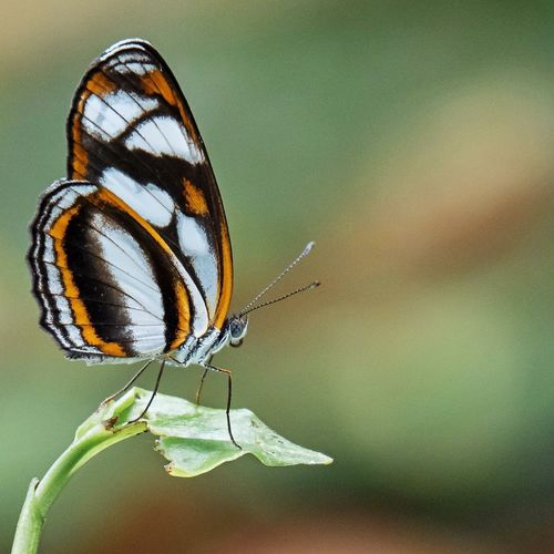 Butterflies of Amazon EyeEm Selects Insect Animals In The Wild Butterfly - Insect Animal Themes One Animal Animal Wing Nature Outdoors Animal Wildlife Butterfly Close-up Wildlife No People Day Focus On Foreground Beauty In Nature Perching Leaf Fragility