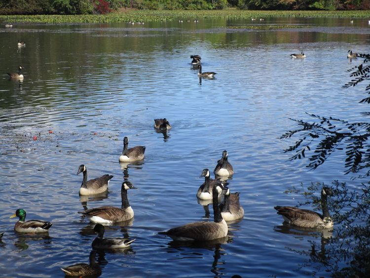 Beauty In Nature Tranquil Scene Water Large Group Of Birds Ducks And Geese Swimming No People