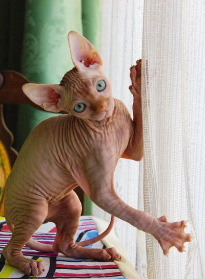 Close-Up Portrait Of Sphynx Hairless Cat By Window At Home