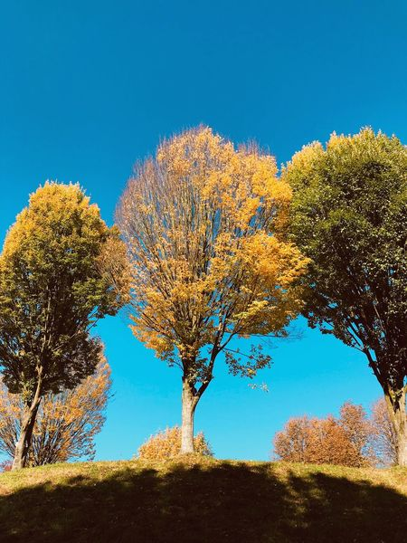 EyeEm Selects Tree Blue Clear Sky Nature Sky Sunlight Outdoors Day No People Growth