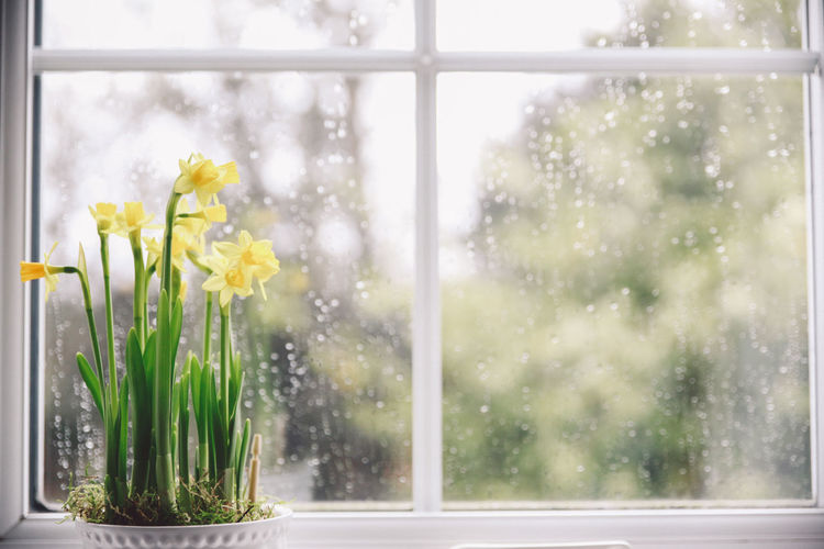 Potted daffodils blooming on window sill at home
