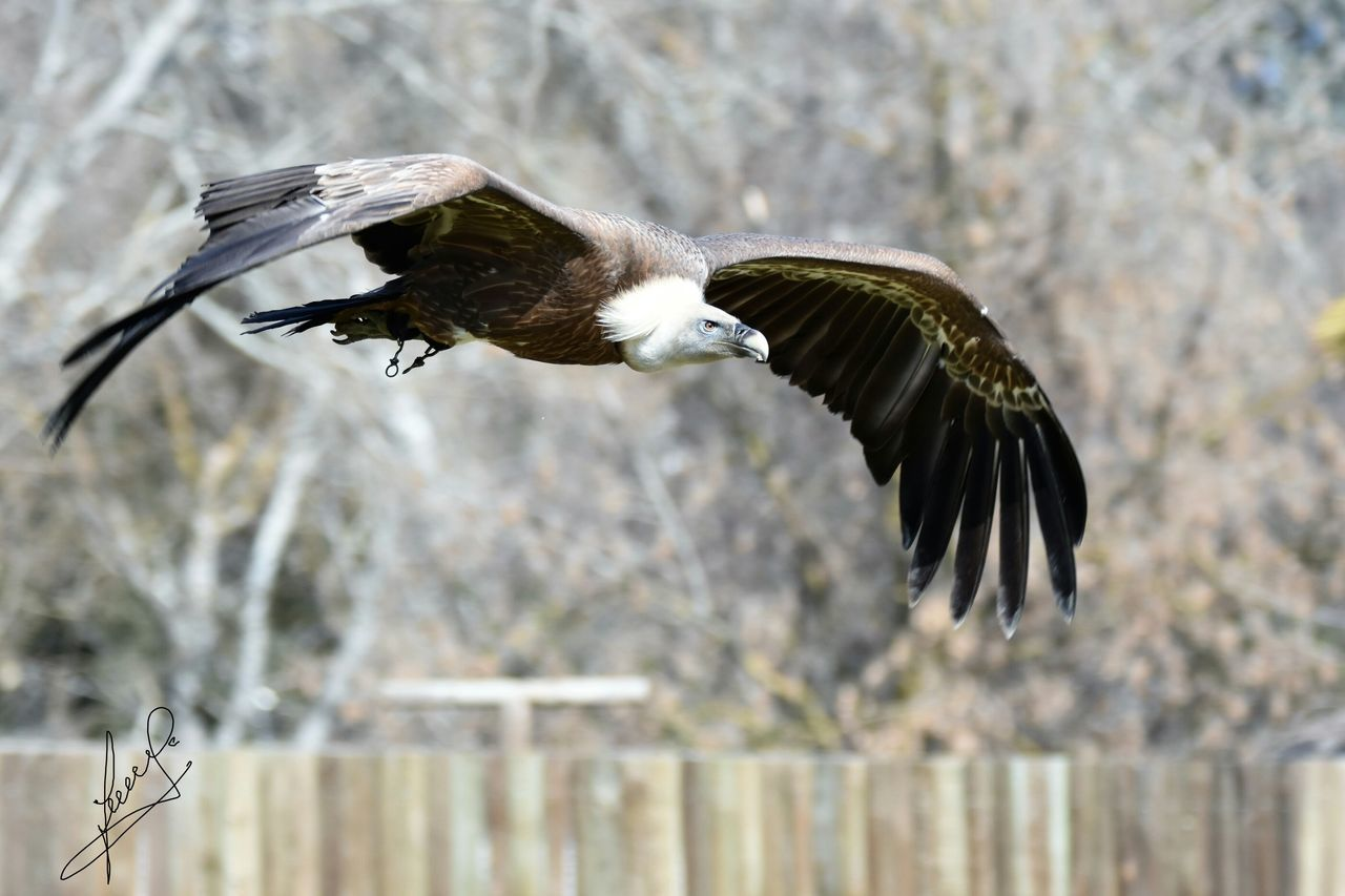 bird, spread wings, animals in the wild, one animal, animal themes, animal wildlife, mid-air, flying, day, outdoors, nature, no people, motion, bird of prey, close-up