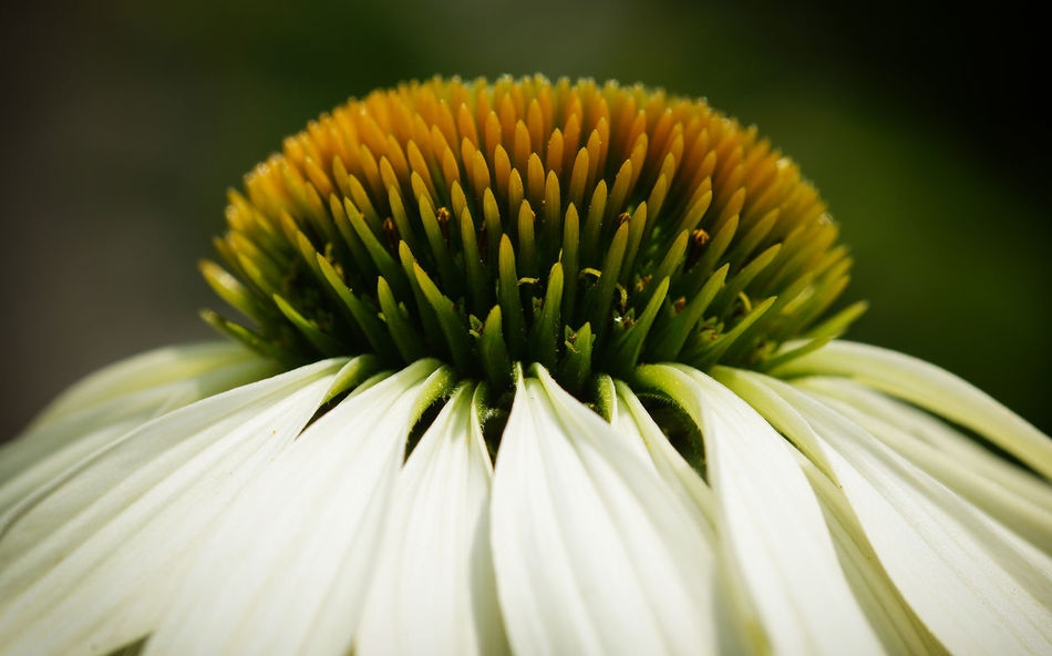 Coneflower White Swan (Echinacea purpurea), flowers of summer Blooming Blooming Flower Blossom Blossoming  Botanic Close-up Coneflower Echinacea Echinacea Purpurea Flora Floral Flower Flower Head Garden Gardening Nature No People Outdoors Petal Plant Summer Summertime