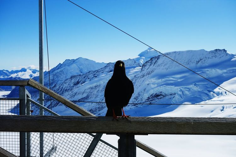 Bird Perching On Railing By Snow Covered Mountains Against Clear Sky