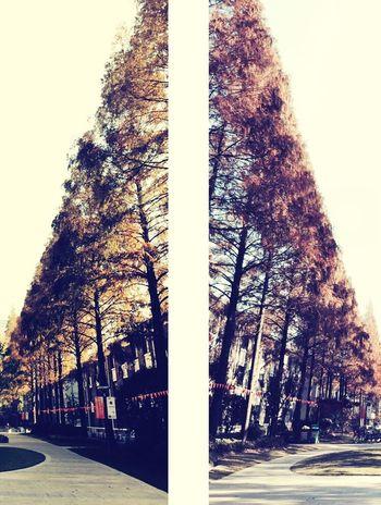 喜欢复旦秋天的水杉