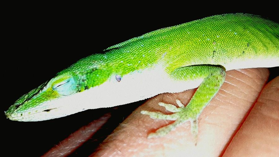 Nature On Your Doorstep Sleeping Anole Green Garden Photography Nature Giving A Hand Warm Hand For Cold Lizard Lizard Sleeping On Hand Urban Spring Fever Spring Lizard (anole) Things I Like The Great Outdoors - 2017 EyeEm Awards Pet Portraits