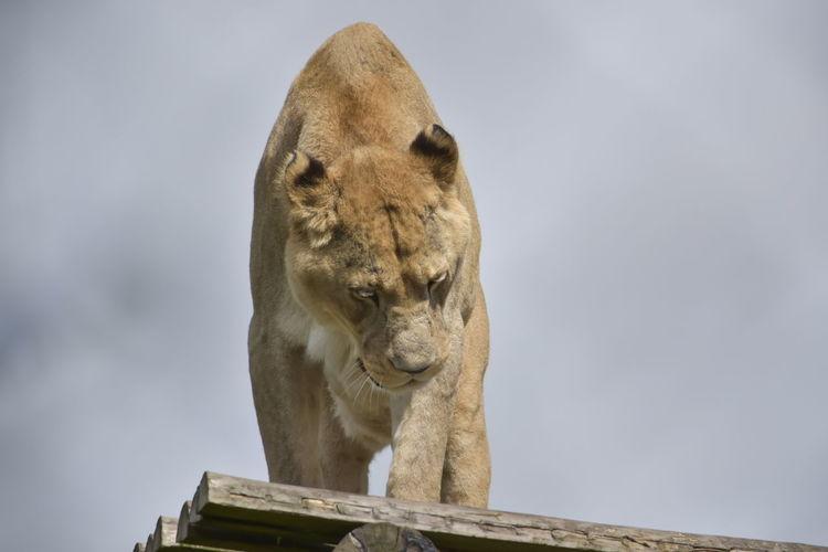 One Animal Lion