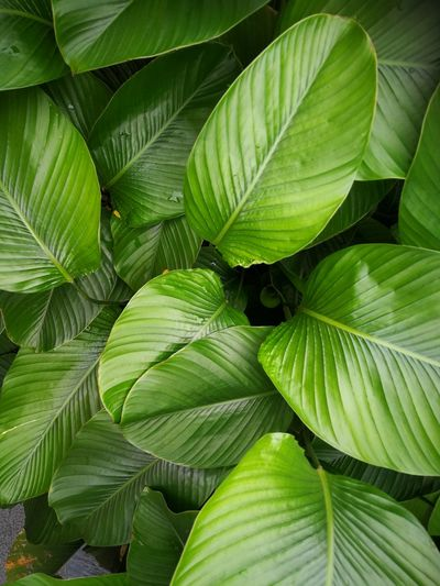 Leaf Plant Part Green Color Plant Full Frame Backgrounds Nature Growth No People Beauty In Nature Close-up Freshness Food And Drink Food Pattern Leaf Vein Outdoors Leaves Lush Foliage Natural Pattern