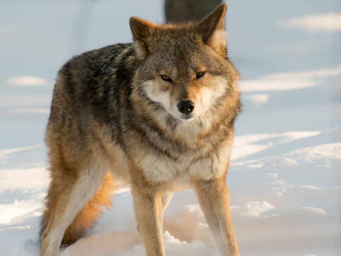 Animal Themes Animals Cold Temperature Day Nature No People One Animal Outdoors Parc Portrait Sky Snow Travel Wild Winter Winter Wolf