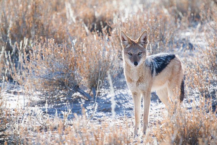 Black-backed jackal standing on field