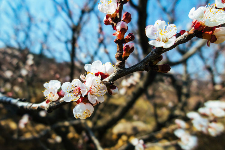 cherry garden Blooming Blossom Branch Cherry Blossom Cherry Tree Close-up Flower Flower Head Flowers Growth Nature Outdoors Tree Twig White Color