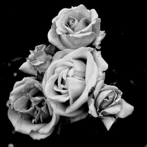 Close-up of rose bouquet against black background