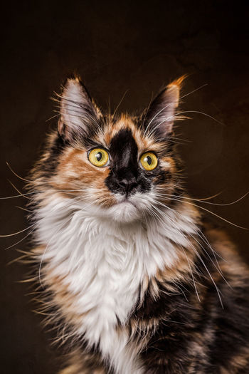 Close-up of maine coon cat looking away against black background