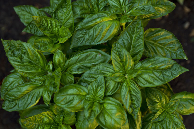 Basil Gardening Greenery Leaves Leaves Only Leaves Morning Sun Plant Plant Close Up Plant Leaves