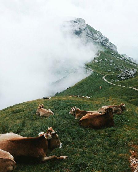 Alpine cows lying on grass among mountains and fog